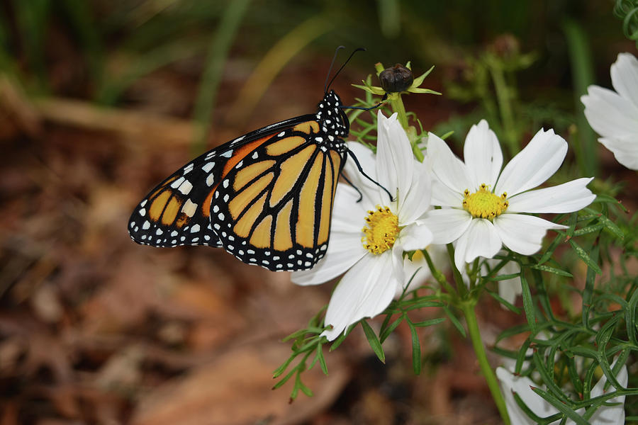 Monarch on Cosmos by Aimee L Maher ALM GALLERY