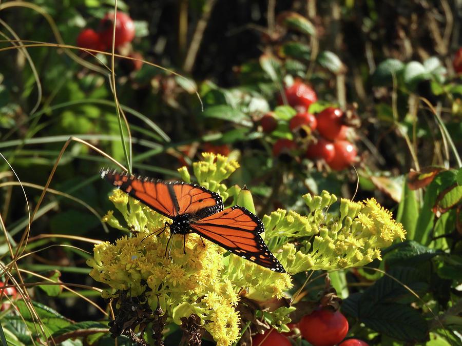 Monarch on Goldenrod by Kristin Hatt
