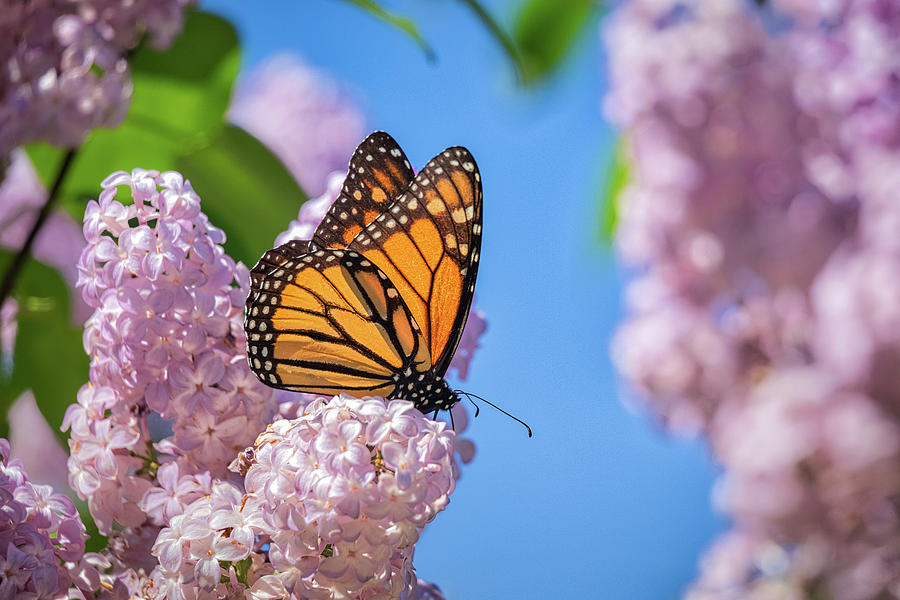Monarch on Lilacs by Penny Meyers