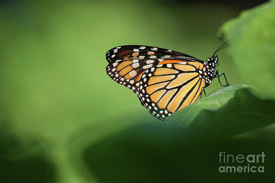 Monarch Photograph - Monarch On Milkweed by Karen Adams