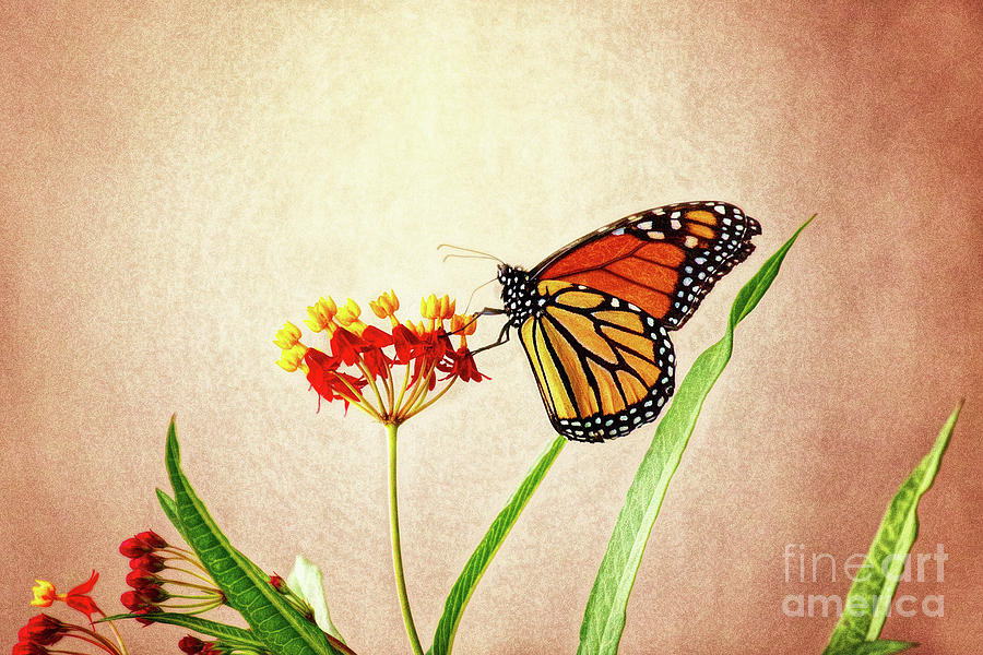 Monarch On Milkweed by Sharon McConnell