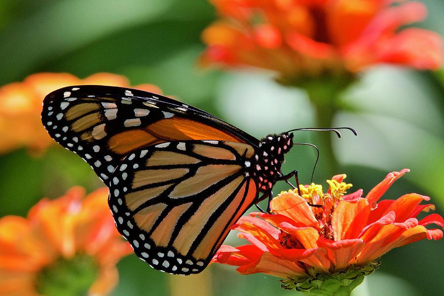 Monarch On Orange Zinnia 7937 Photograph