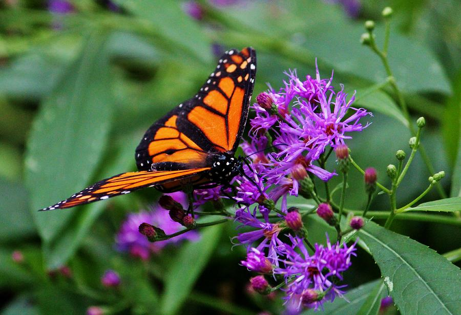 Monarch On Purple Flowers by Cynthia Guinn