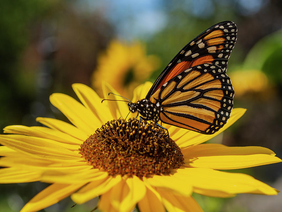 Monarch On Sunflower 2019 by Thomas Young
