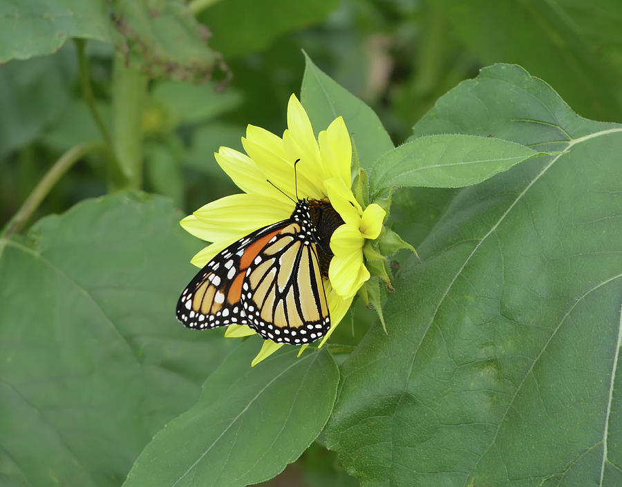 Monarch on Sunflower by Aimee L Maher ALM GALLERY