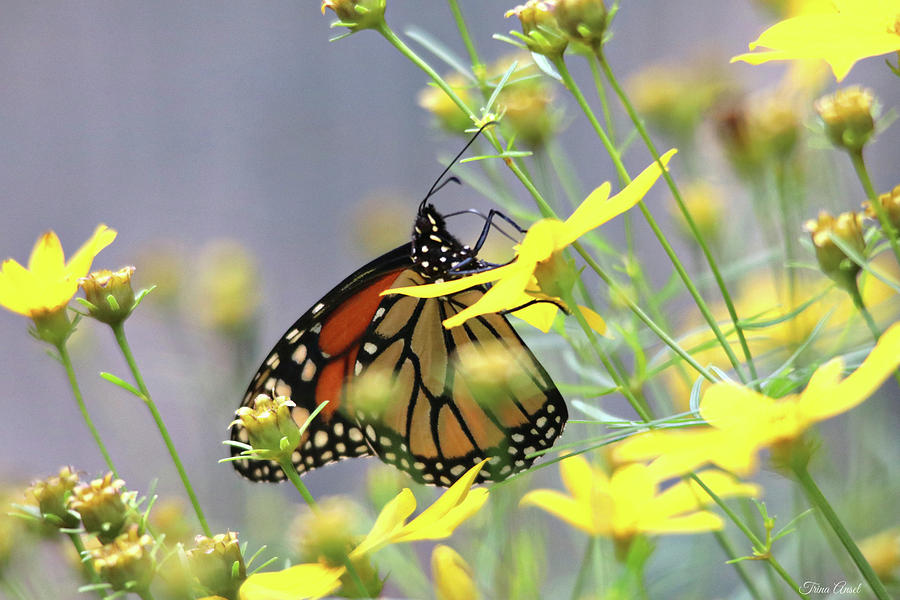 Monarch on the Yellow Coreopsis by Trina Ansel