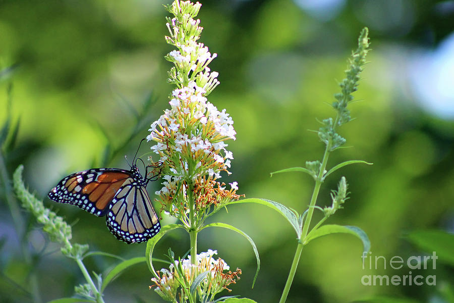 Monarch Butterfly Photograph - Monarch On White Butterfly Bush by Karen Adams
