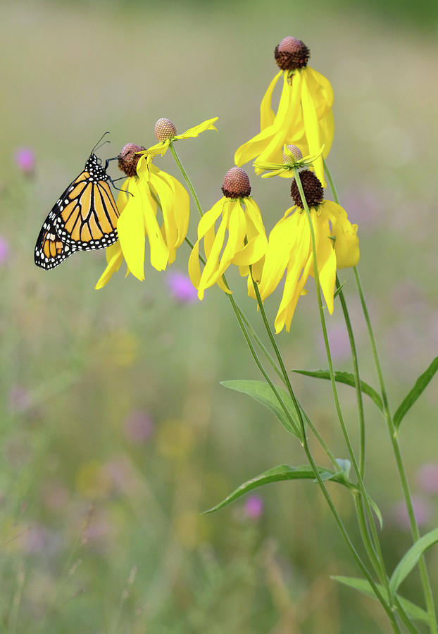 Monarch on Yellow Coneflower 2 by Brook Burling