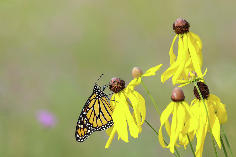 Monarch on Yellow Coneflower by Brook Burling