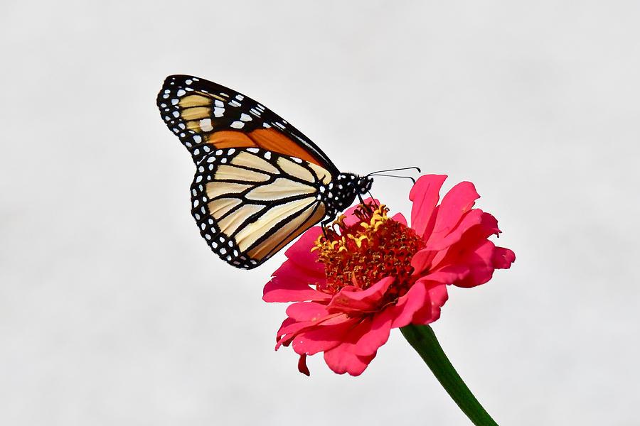 Monarch on Zinna 7394 by Michael Peychich