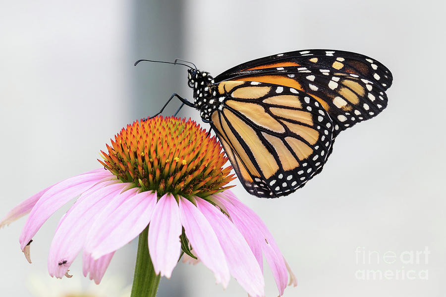 Animals Photograph - Monarch Profile by Nicki Hoffman