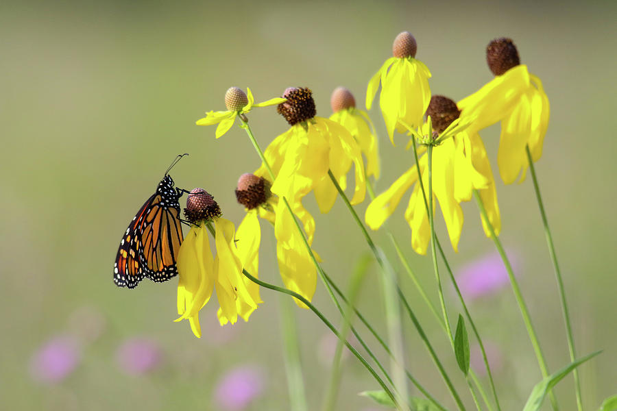 Monarch Resting on Yellow Coneflower by Brook Burling