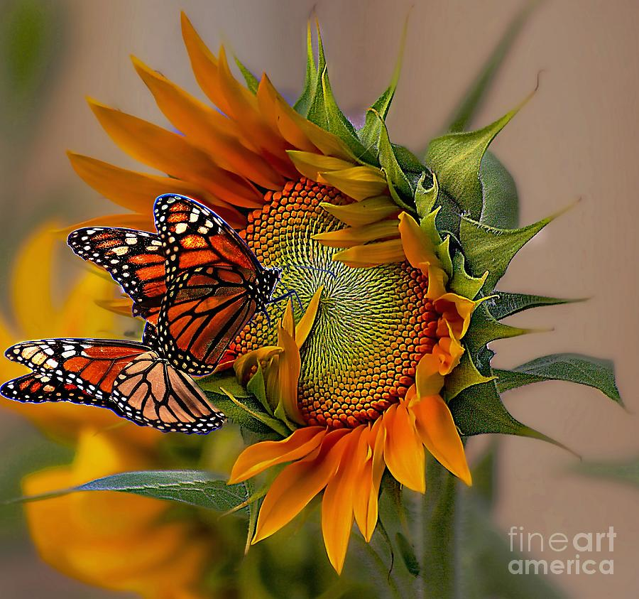 monarchs and sunflower by John Kolenberg