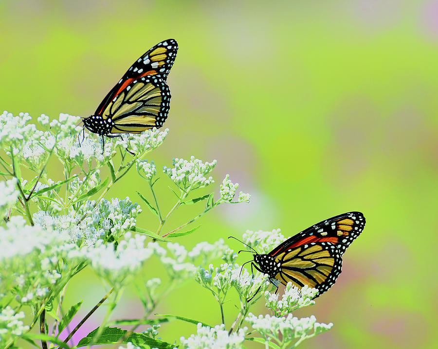 Monarchs in a Meadow by Rodney Campbell