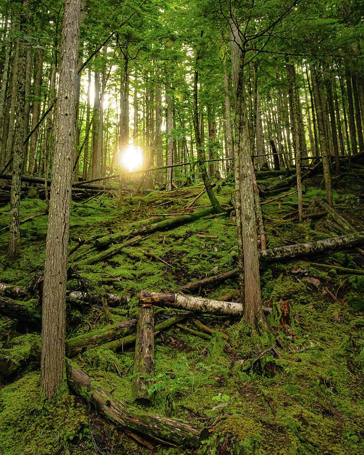 Monashee Forest Portrait by Dave Matchett