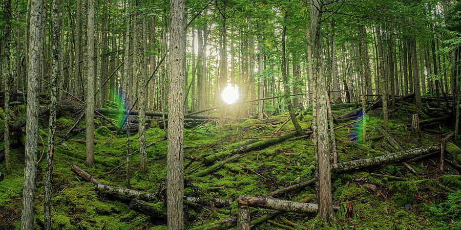 Monashee Forest Sunset with Flare by Dave Matchett