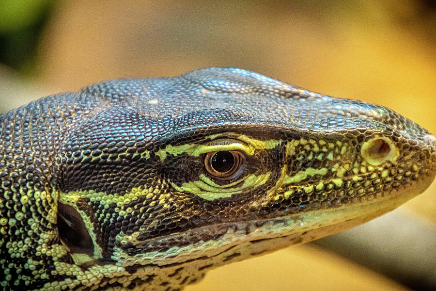 Monitor Lizard by Donald Pash