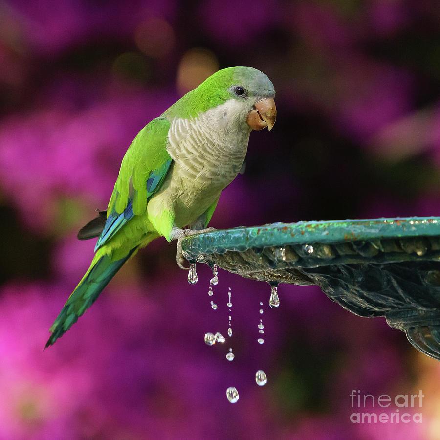 Monk Parakeet and Iron Fountain by Pablo Avanzini