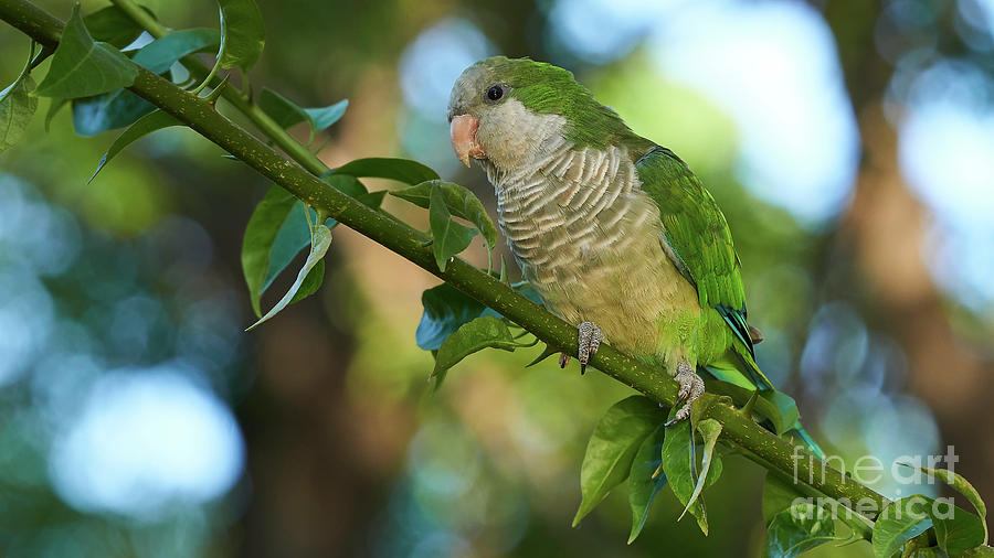 Monk Parakeet Perched on a Tree Branch Blurred Background by Pablo Avanzini