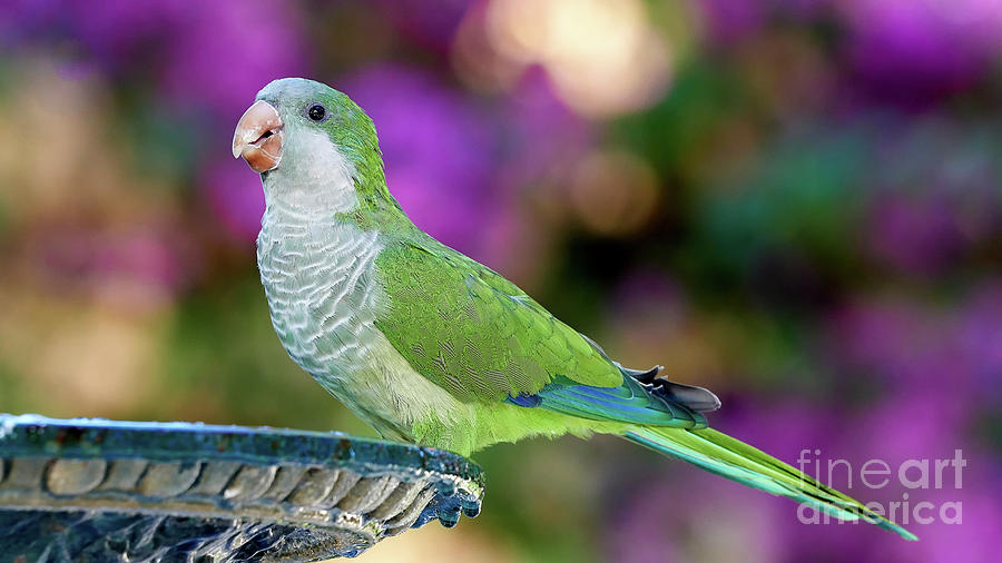 Monk Parakeets Perched on Iron Fountain Purple Colored Background by Pablo Avanzini