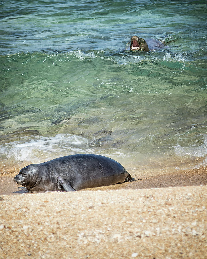 Monk Seals Playing in the Waves - RB00 and PK1 by Belinda Greb
