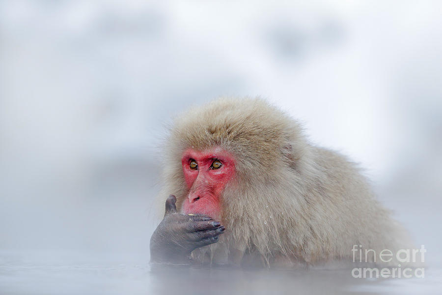 Fur Photograph - Monkey Japanese Macaque, Macaca by Ondrej Prosicky