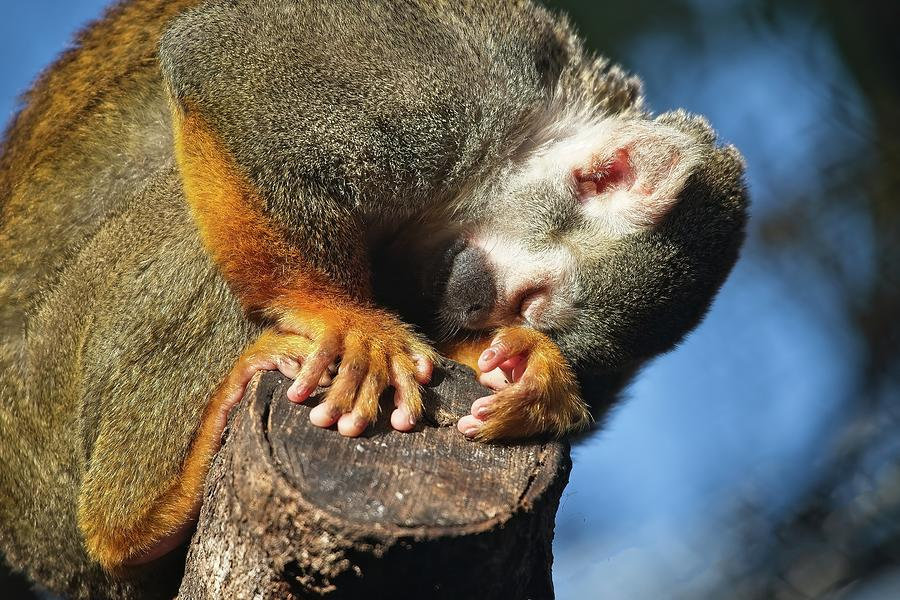 Monkey by Steve DaPonte