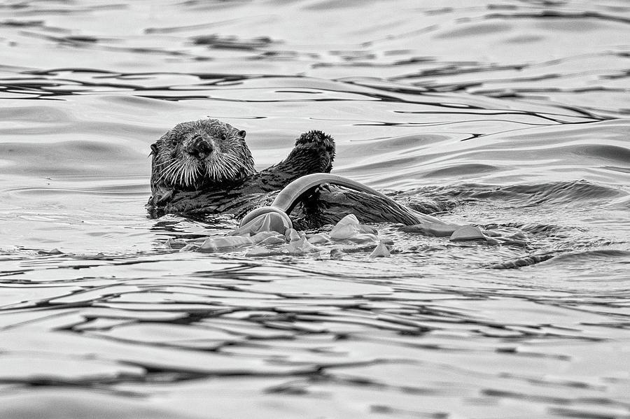 Monochrome Sea Otter by Mark Hunter