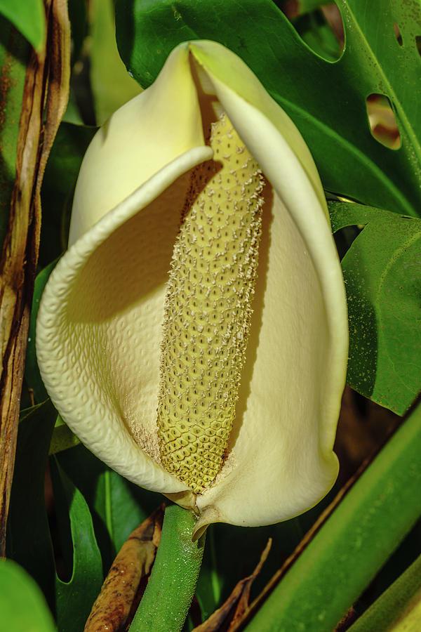 Monstera Flower by John Bauer