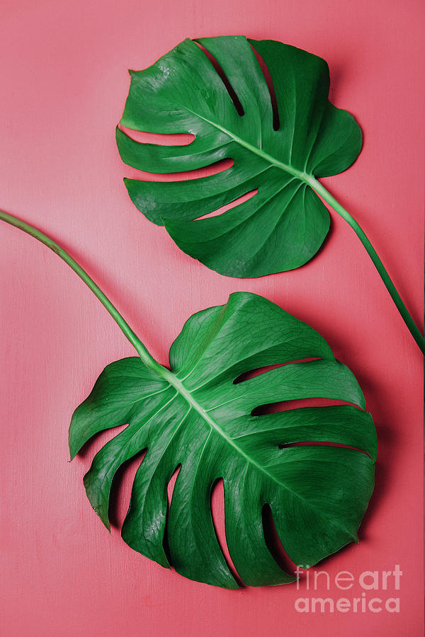 Monstera Leaf On Pink Background Photograph by Westend61
