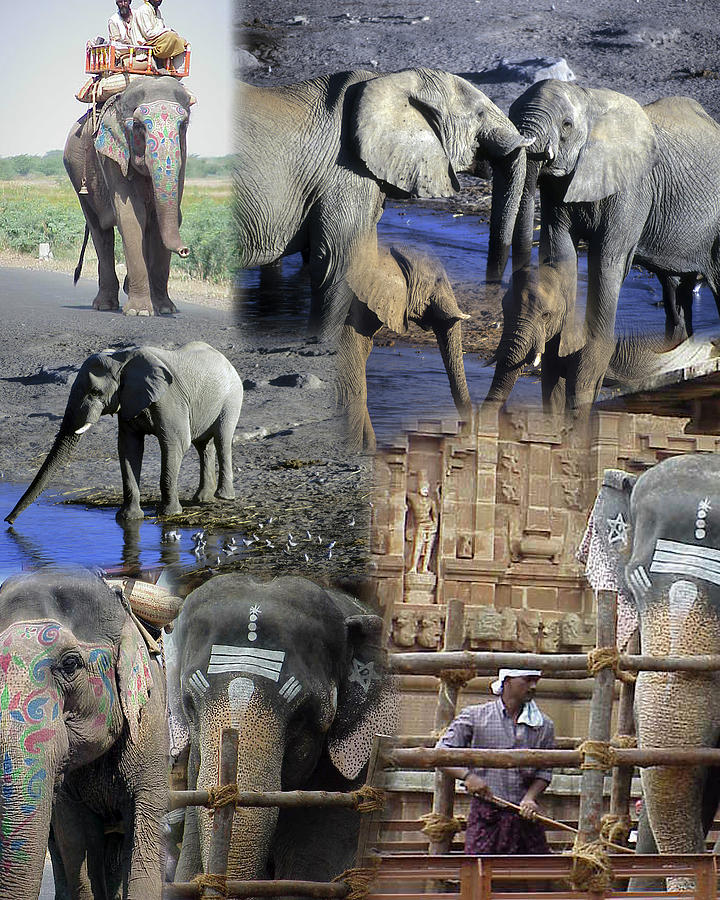 Montage - Elephants of Africa and India by Steve Estvanik