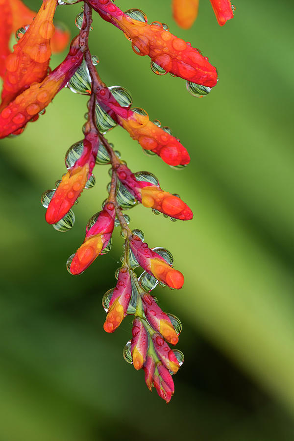 Montbretia Crocosmia by Robert Potts