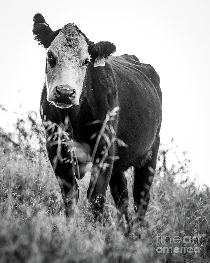 Moo by Vincent Bonafede