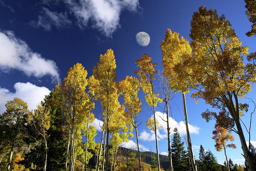 Aspen Photograph - Moon Above Aspens by Candy Brenton