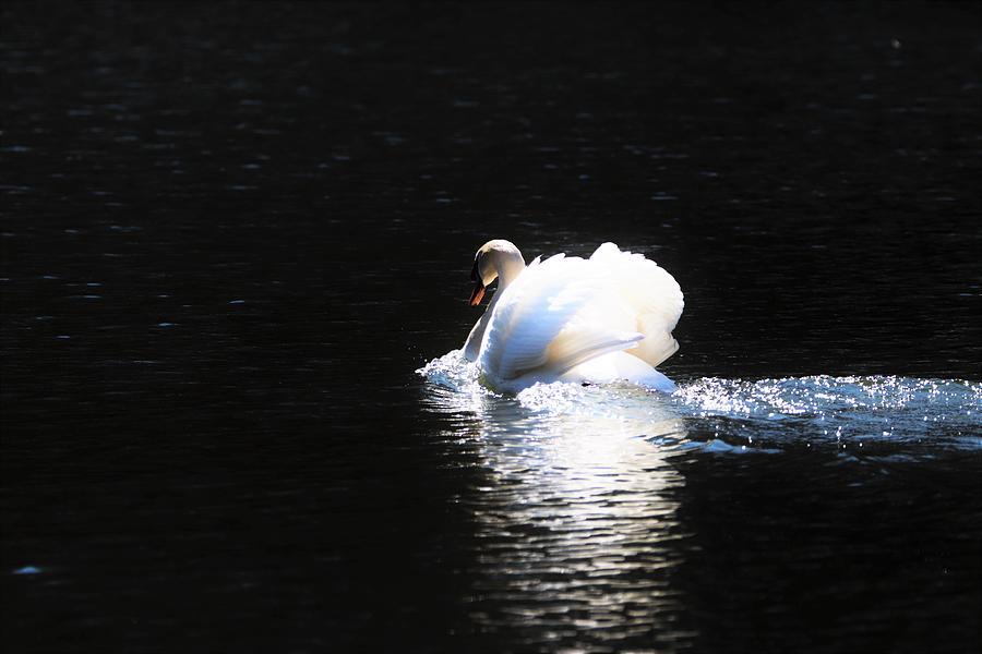 Moonlit Swan by Karen Silvestri