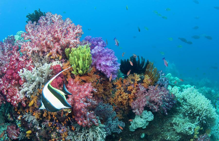 Moorish Idol Zanclus Cornutus Fish On Photograph by Darryl Leniuk