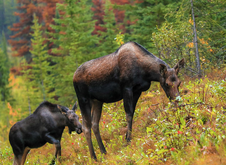 Moose And Calf In Autumn by Dan Sproul