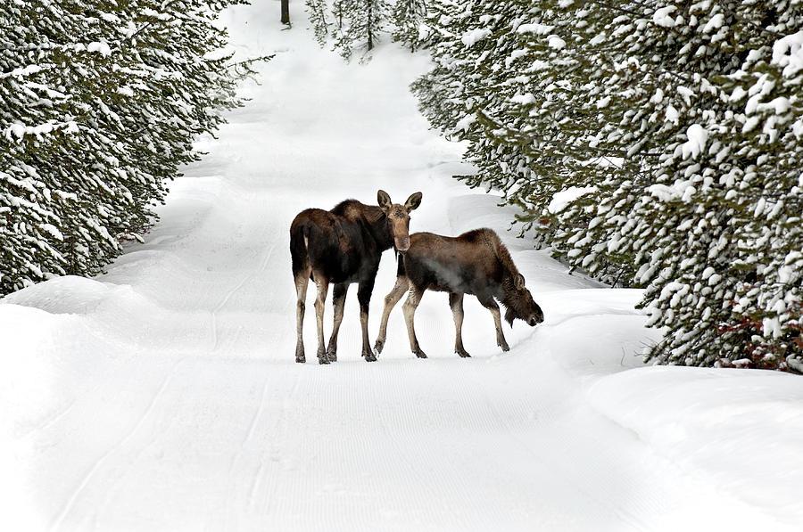 Moose And Calf Wander Down A Snow Photograph by Judilen