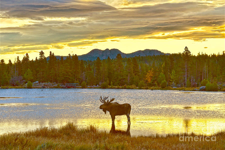 Moose at Dawn, Colorado by Catherine Sherman