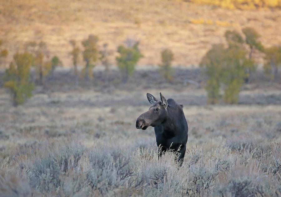 Moose Cow in Gros Ventre by Jean Clark