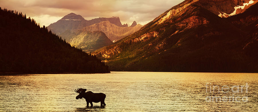 Waterton Photograph - Moose In Lake With High Mountains In by Hdsidesign