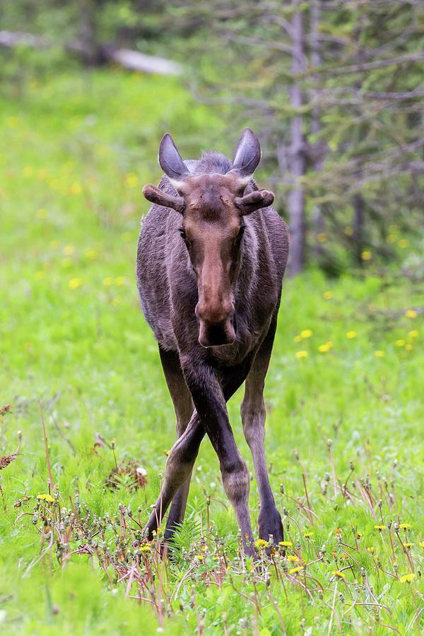 Moose by Paul Schultz