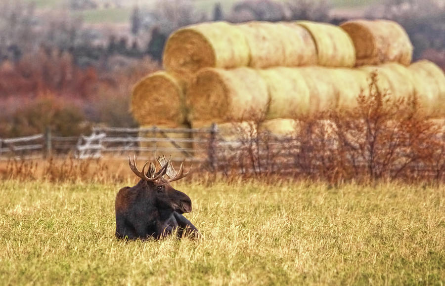 Bull Moose Resting Autumn Day Photograph