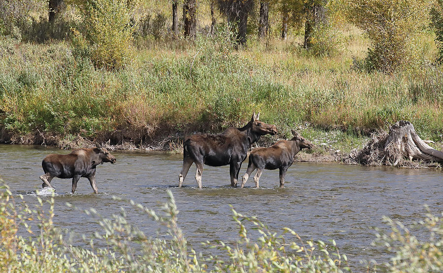 Moose with Twins by Jean Clark