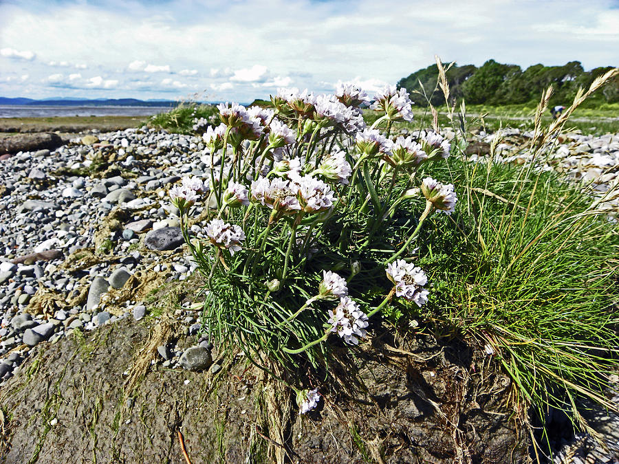 MORECAMBE. Hest Bank. Sea Thrift. by Lachlan Main
