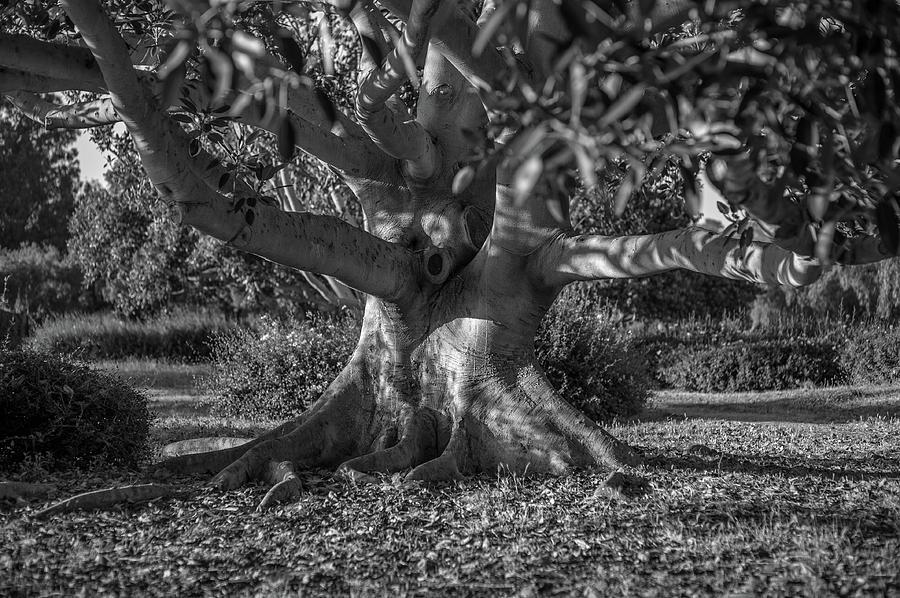 Moreton Bay Fig Tree by Craig Brewer