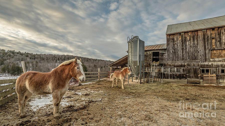 Horse Photograph - Morgan Horses Pomfret Vermont by Edward Fielding