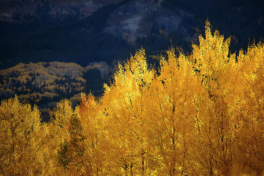 Morning Aspens of Gold by James Covello
