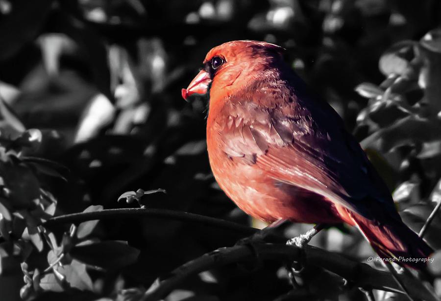 Morning Cardinal  by Debra Forand