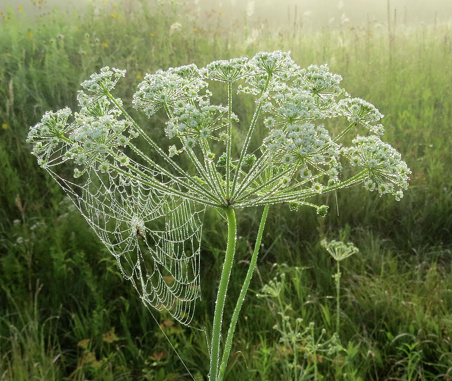 Morning Dew by Carolyn Fletcher